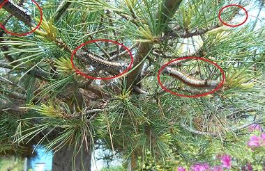 松の木に毛虫