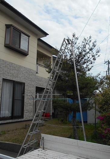 梯子をかけて松の木を伐採