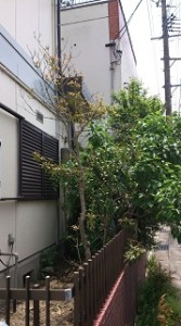 一軒家で庭木伐採2