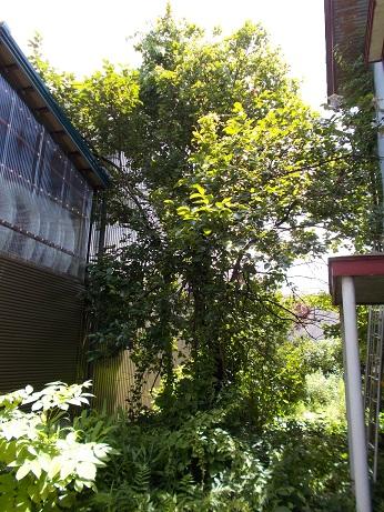 庭木の巨木伐採前